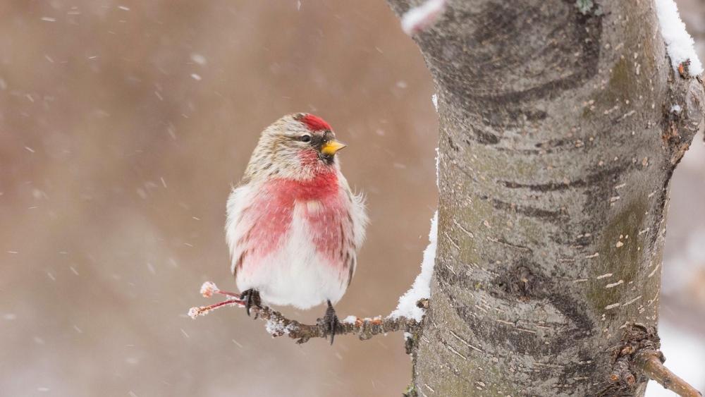 Little bird in the snowfall wallpaper