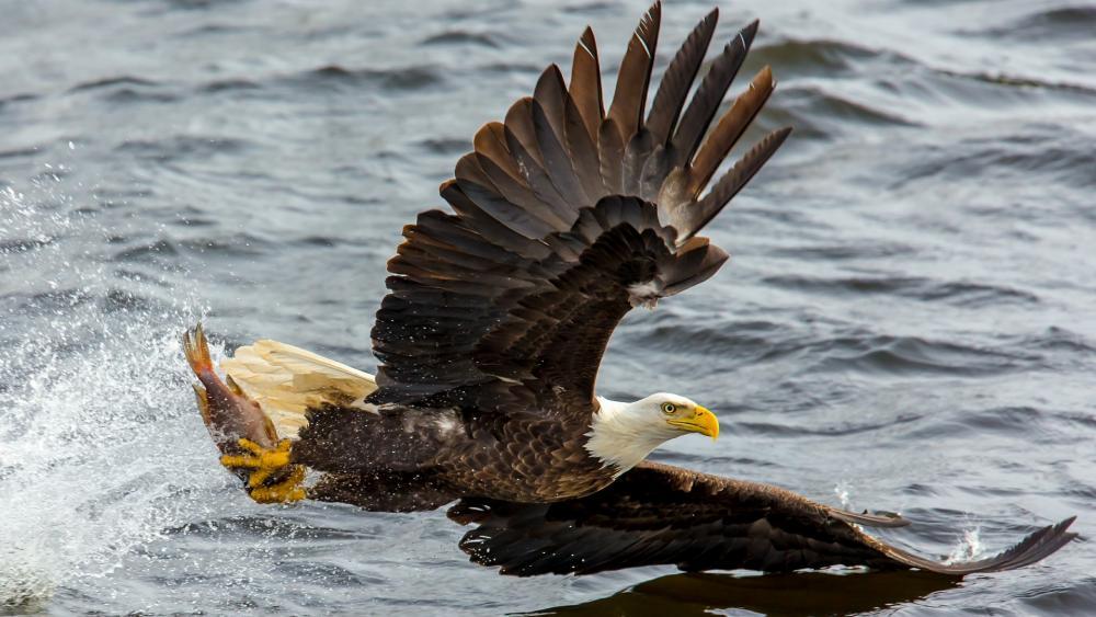 Fishing Bald Eagle wallpaper
