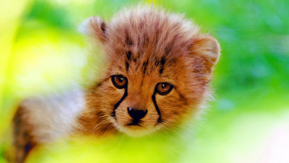Cheetah cub face wallpaper