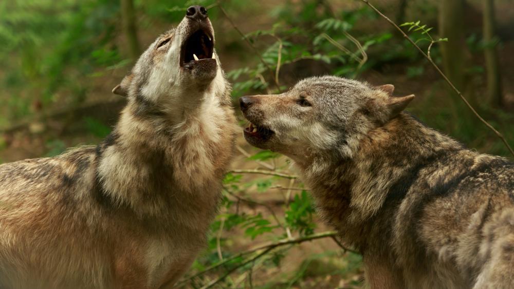 Howling wolves wallpaper