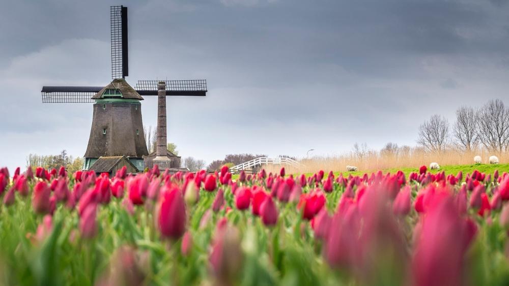 Tulip farm in Alkmaar polder wallpaper
