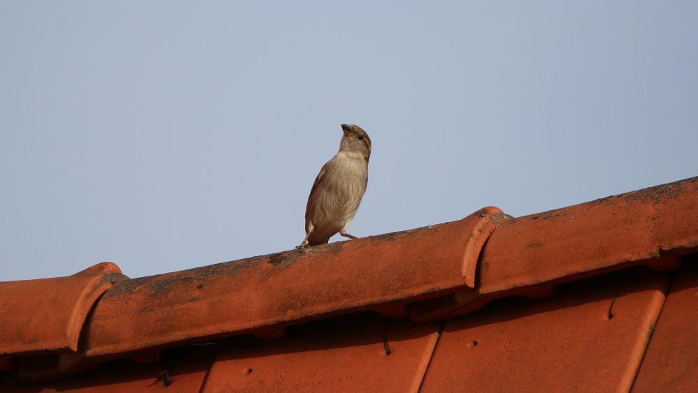 Curious sparrow wallpaper