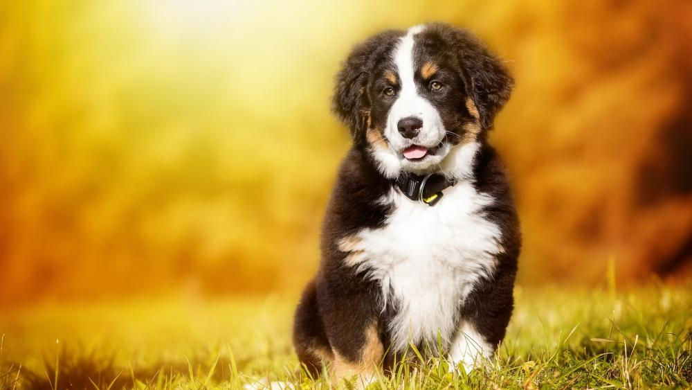 Bernese Mountain puppy wallpaper
