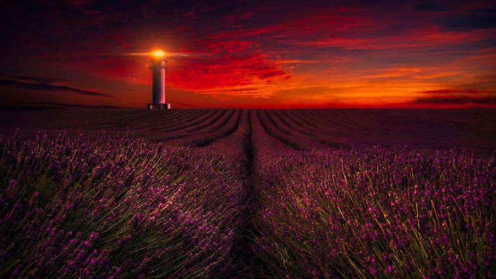 Lavender field at sunset wallpaper