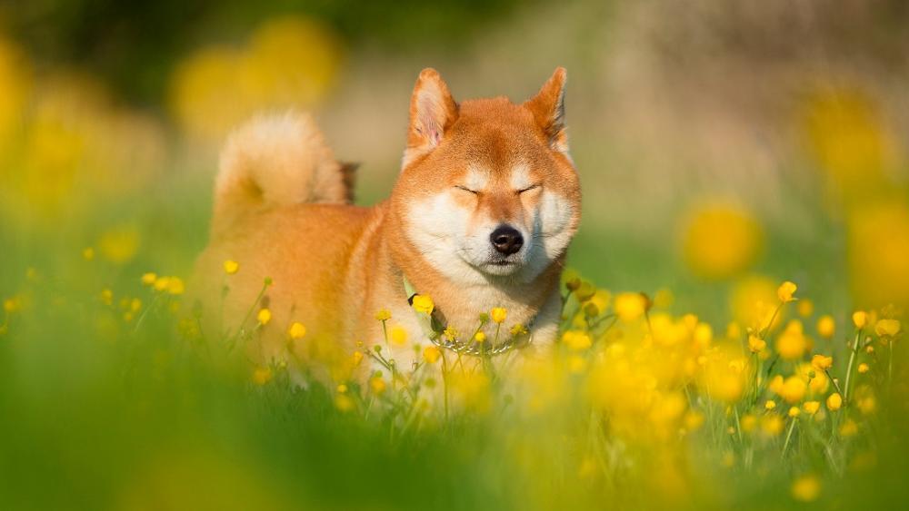 Shiba Inu dog in a flower field wallpaper