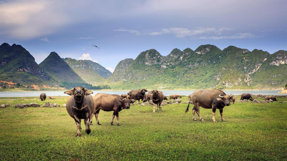 Cattle herd wallpaper