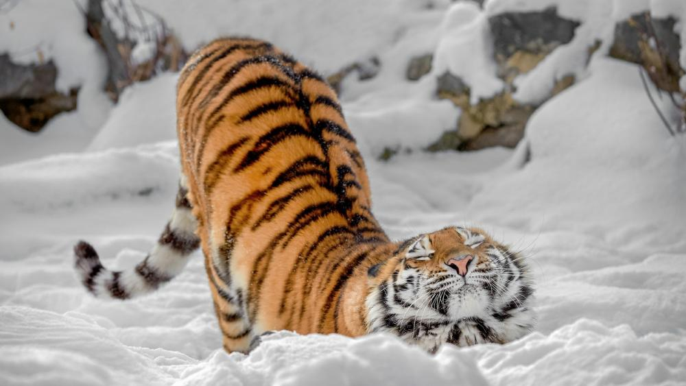 Stretching tiger wallpaper