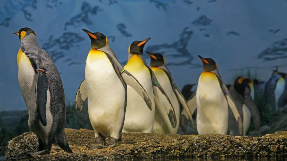 King penguins wallpaper