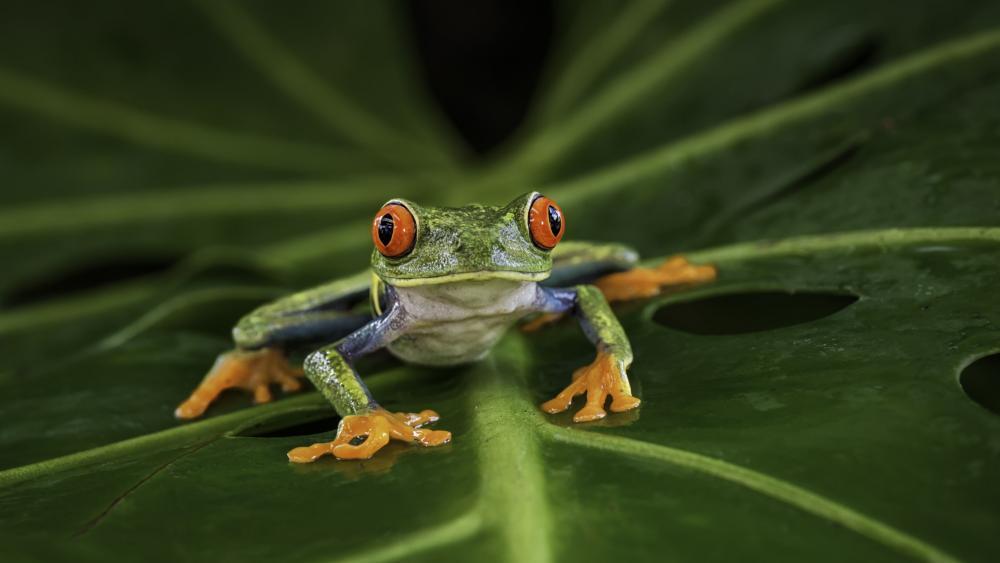 Frog on a leaf wallpaper