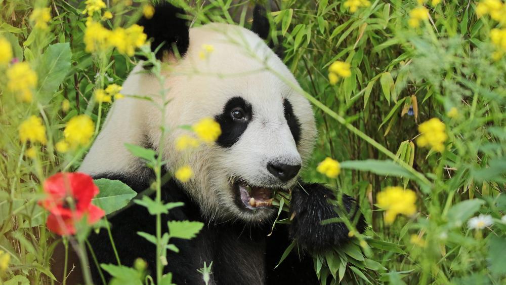 Panda in a flower field wallpaper