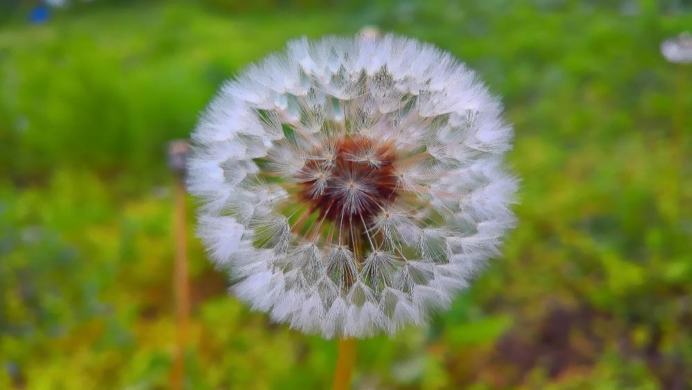 Dandelion close up wallpaper