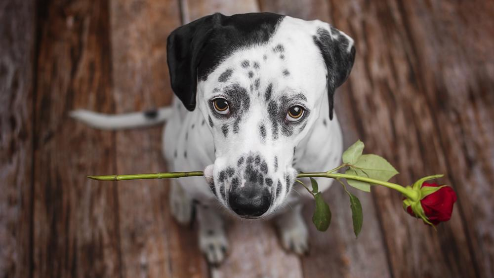 Dalmatian dog holding a red rose wallpaper