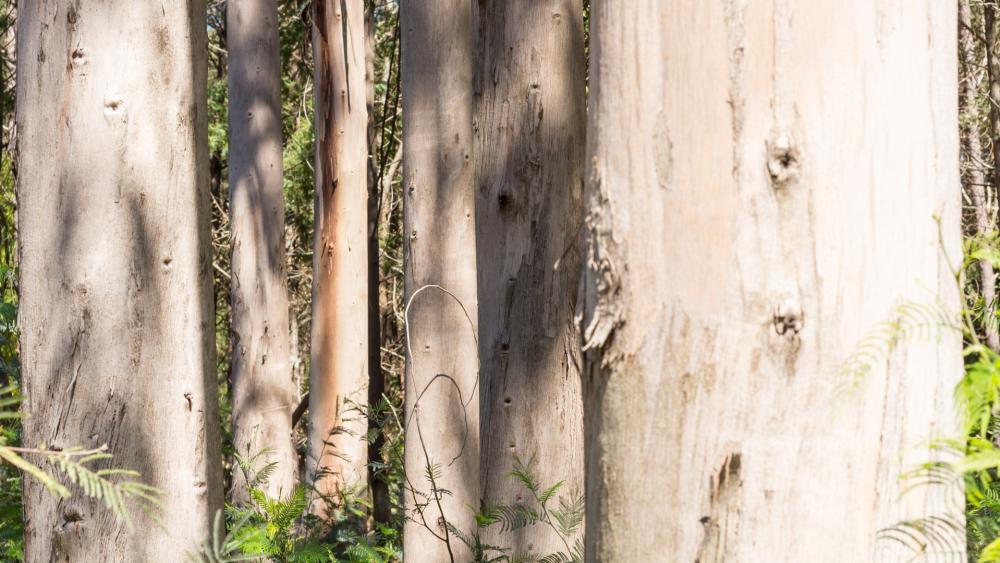 Eucalyptus trees wallpaper
