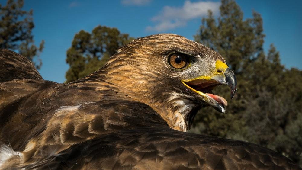 Flying Eagle Portrait wallpaper