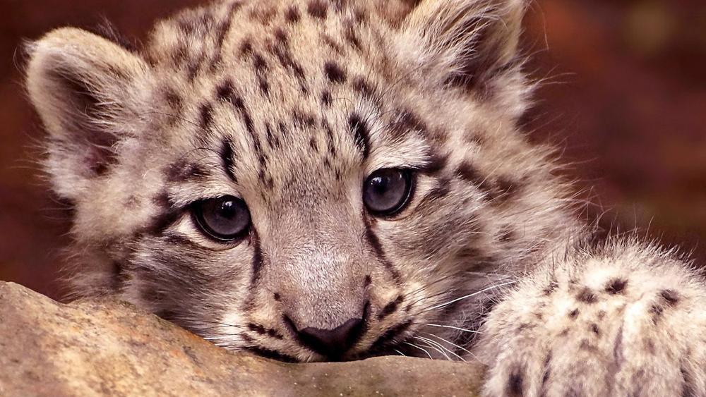 Snow Leopard cub wallpaper