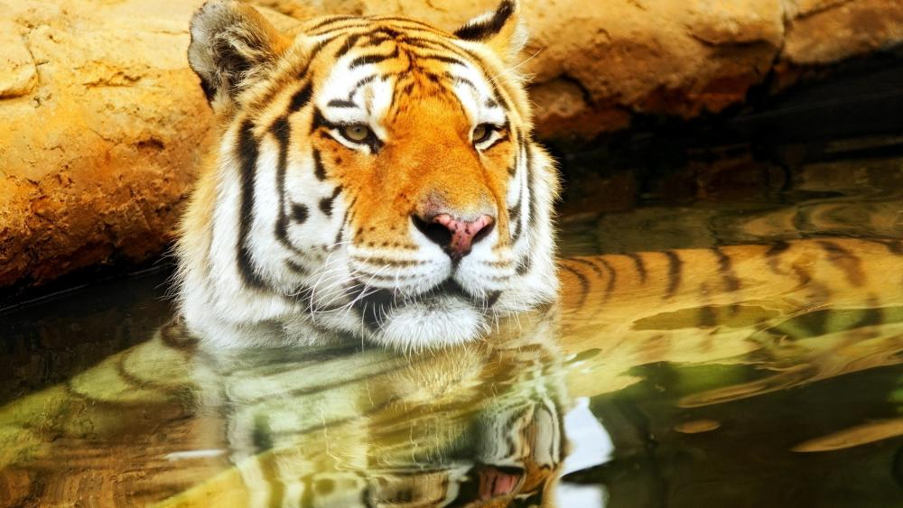 Tiger cooling off in the water wallpaper