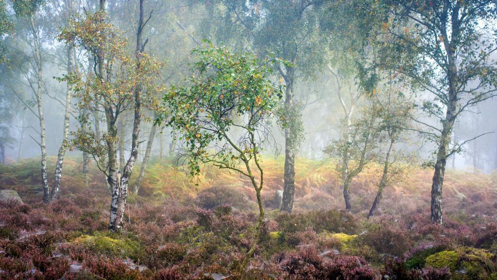 Birch trees in the fog wallpaper
