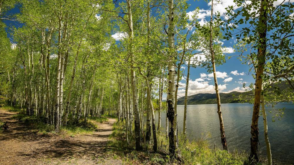 Lakeside birch forest wallpaper