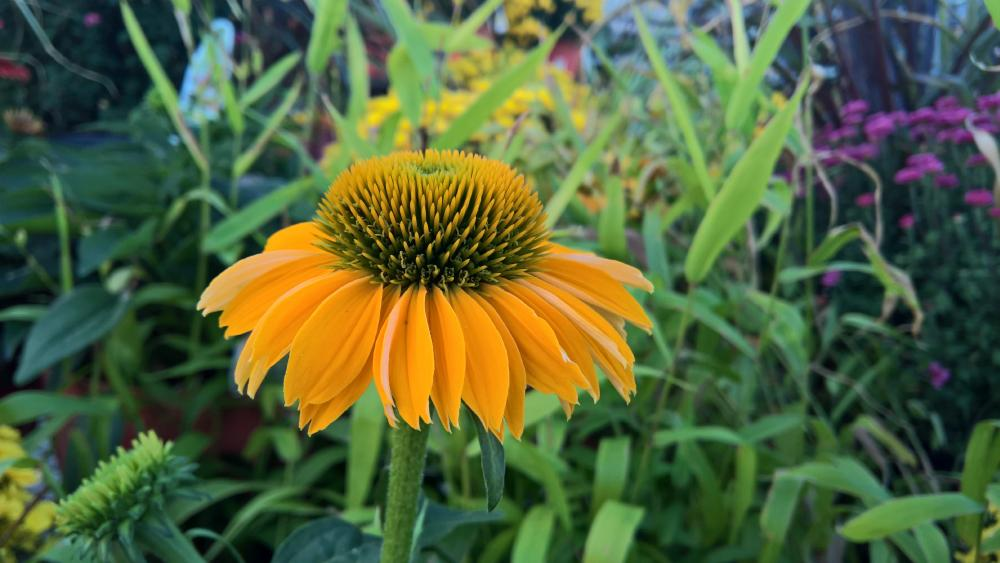 Yellow Cone Flower wallpaper