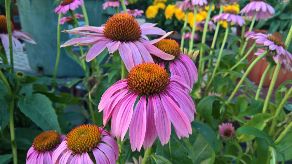 Pink Cone flowers wallpaper