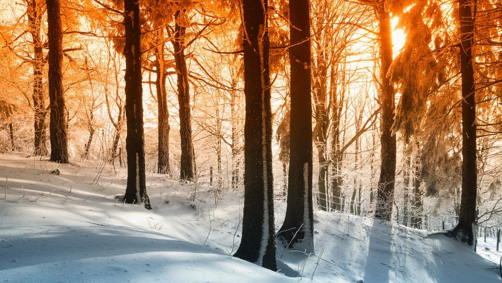 Sunlight in the snowy forest wallpaper