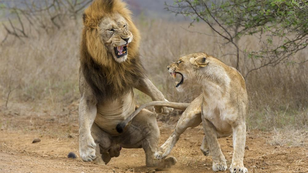 Lion fight wallpaper