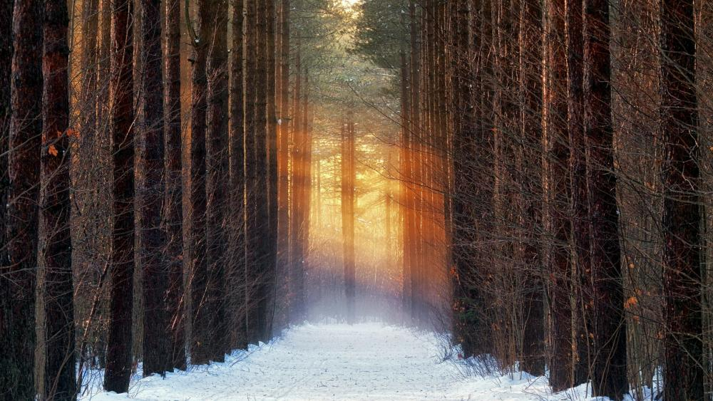 Winter path between the trees wallpaper