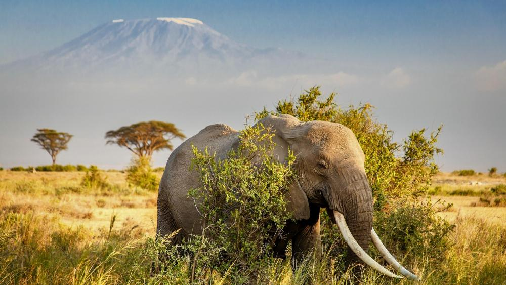 African elephant (Amboseli National Park) wallpaper