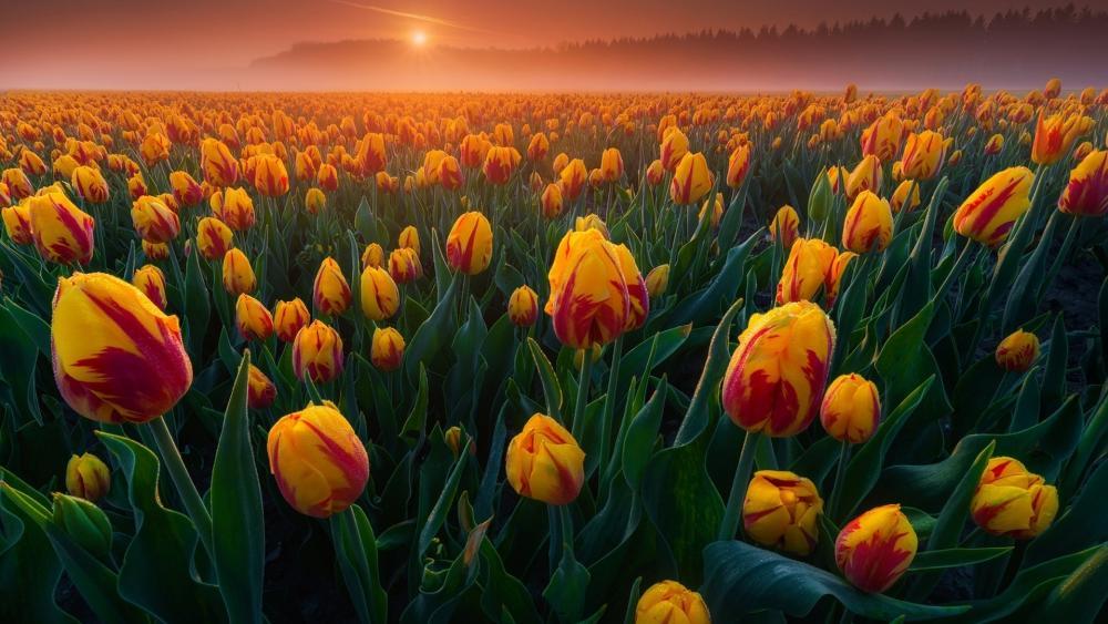 Dutch Tulips wallpaper