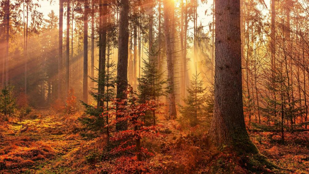 Fall forest sun rays wallpaper
