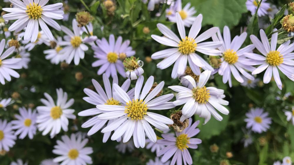 Violet Asters wallpaper