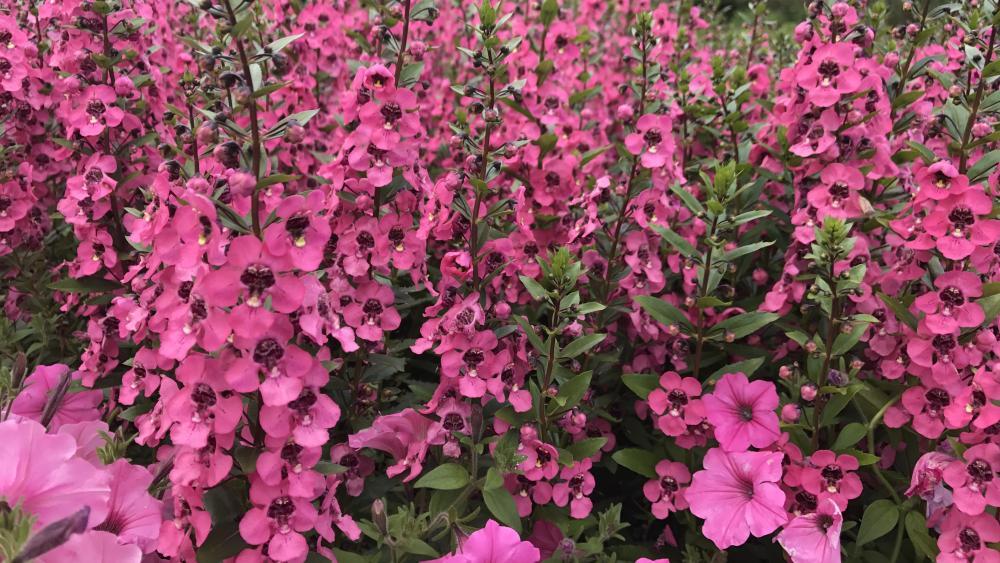 Pink - Flowers wallpaper