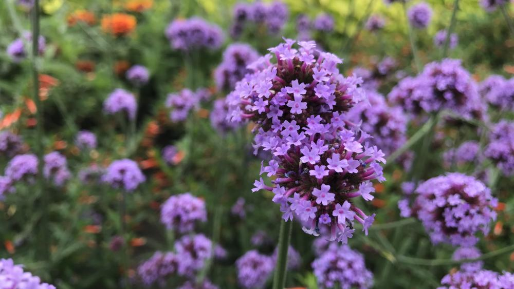 Purple Verbana Flowers wallpaper