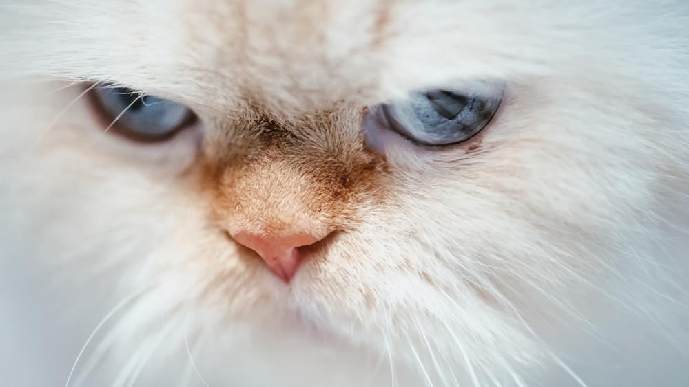 Angry cat close-up wallpaper