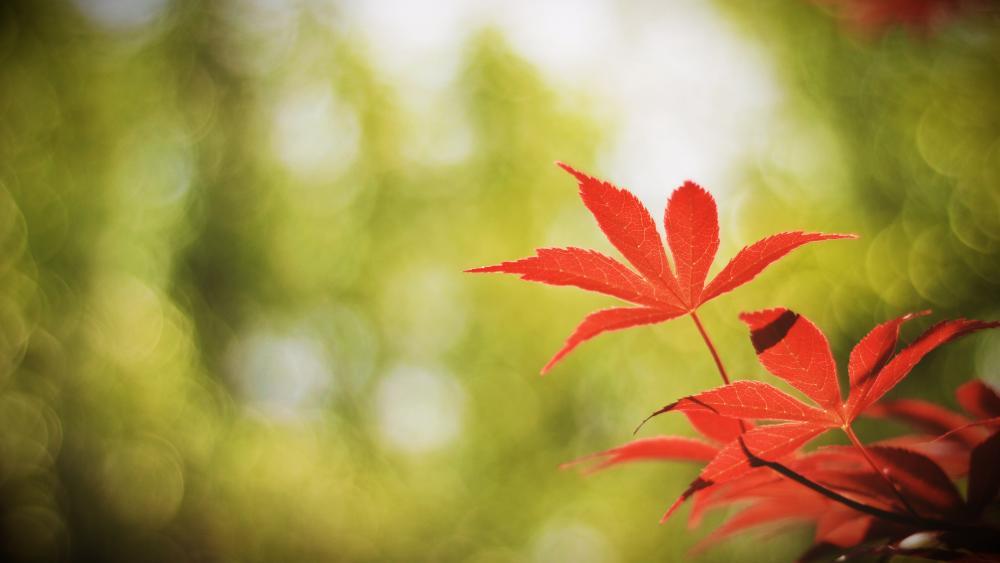 Maple leaf wallpaper