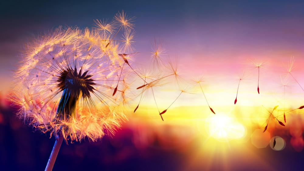 Dandelion seeds in sunset wallpaper