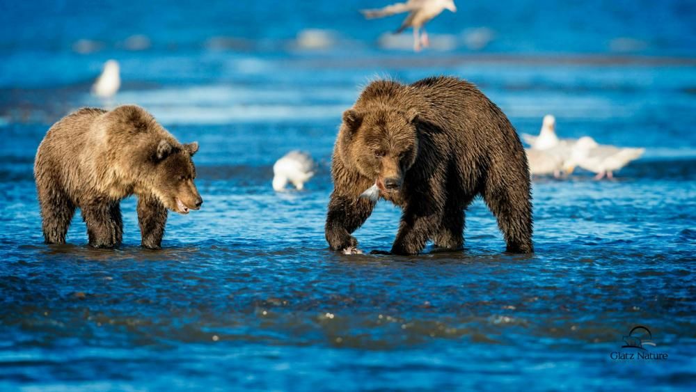 Brown bears wallpaper
