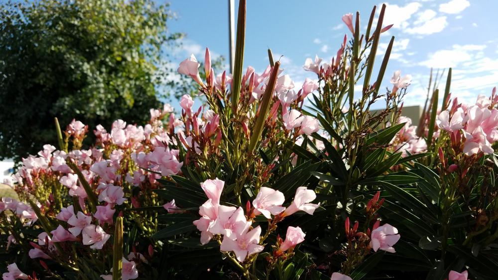 Pink Wild Flowers wallpaper