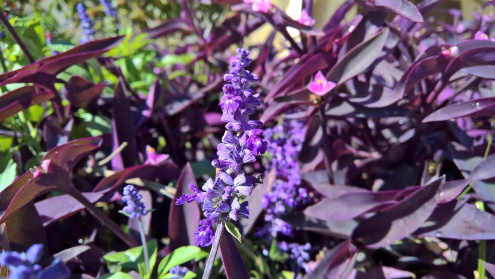 Lavender Flowers wallpaper