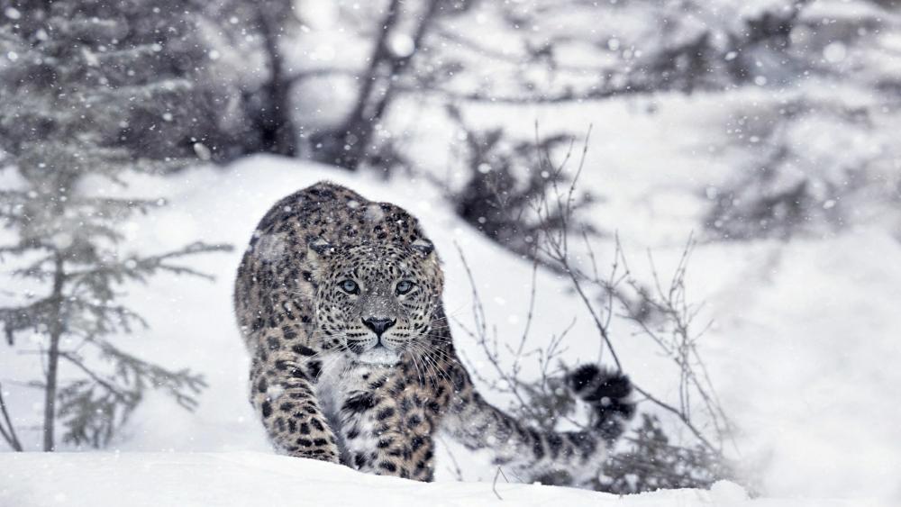 Hunting snow leopard wallpaper