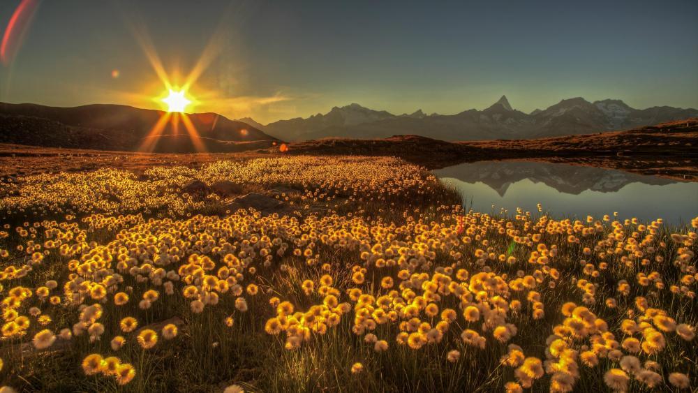 Dandelion field at Bergsee, Switzerland wallpaper