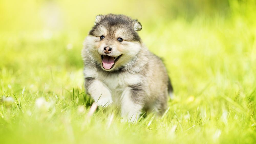 Alaskan Malamute Puppy wallpaper