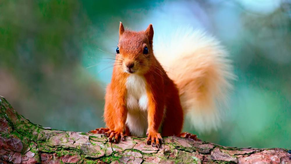 Cute Red Squirrel wallpaper