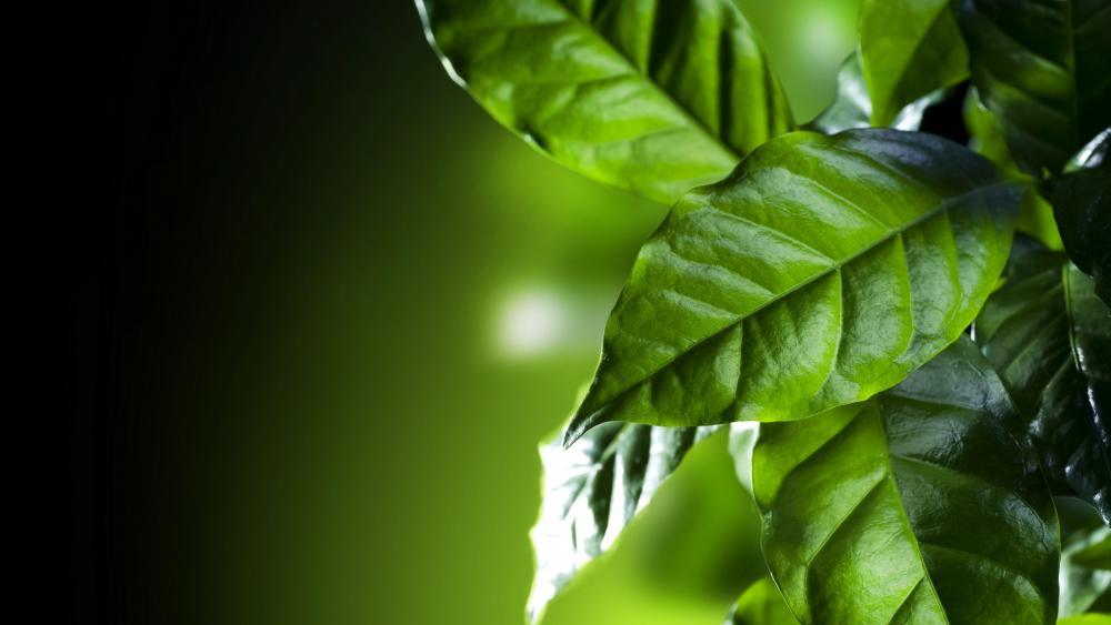 Coffee leaves wallpaper