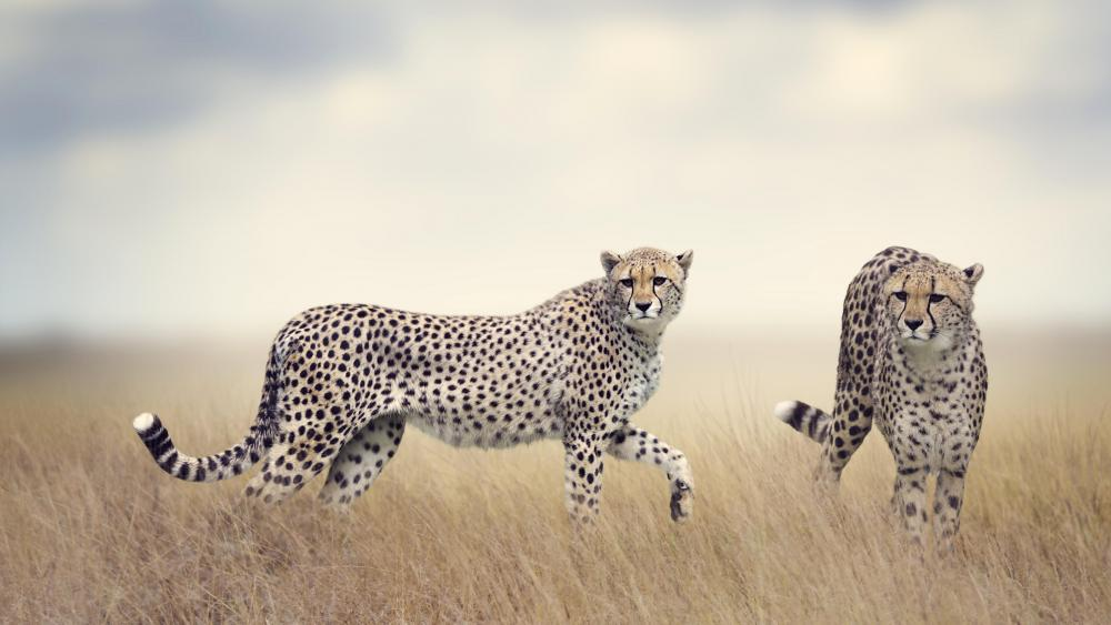 Cheetah couple in the grass wallpaper