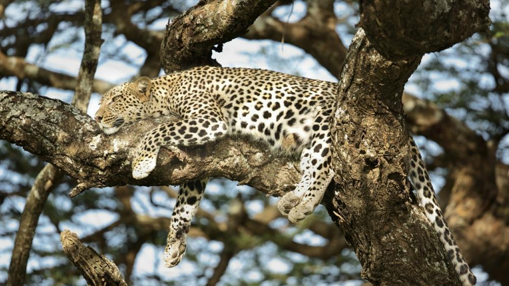 Leopard lying on a branch wallpaper