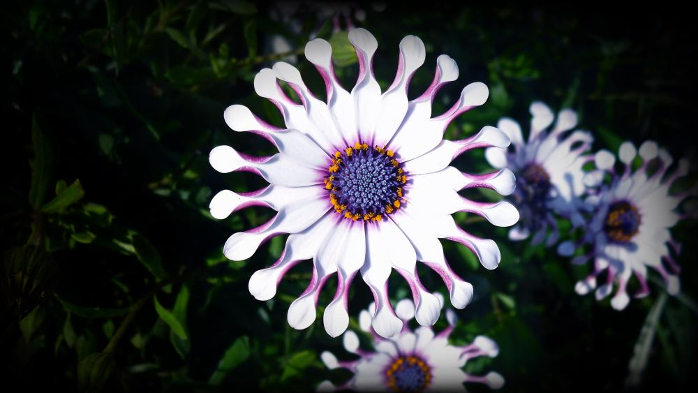 Osteospermum flower with spooned petals wallpaper
