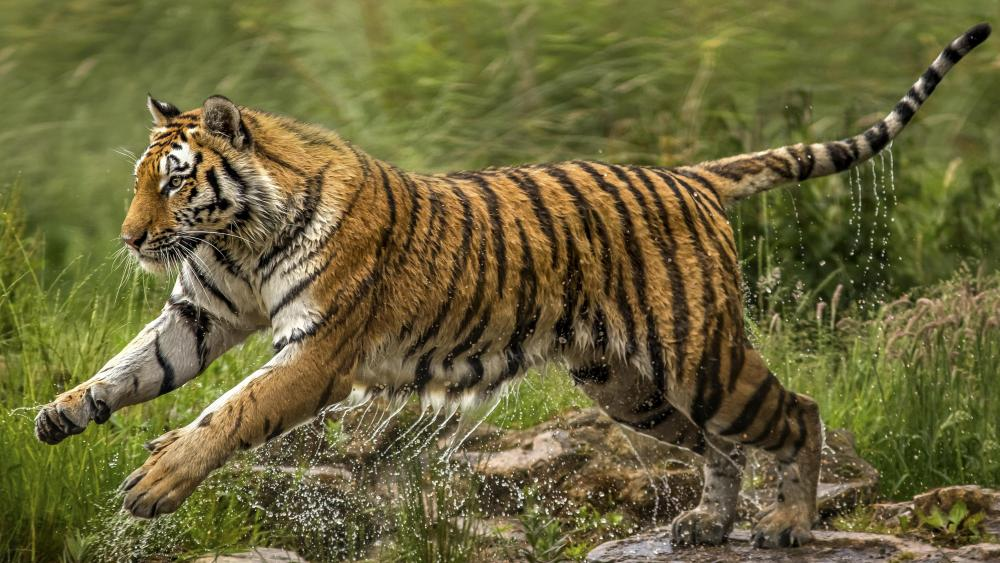 Wet tiger wallpaper