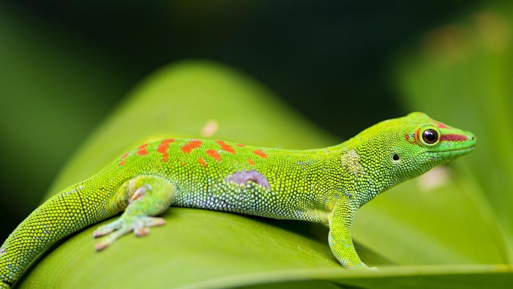 Madagascar day gecko wallpaper