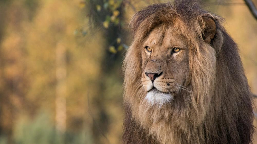 Male lion wallpaper